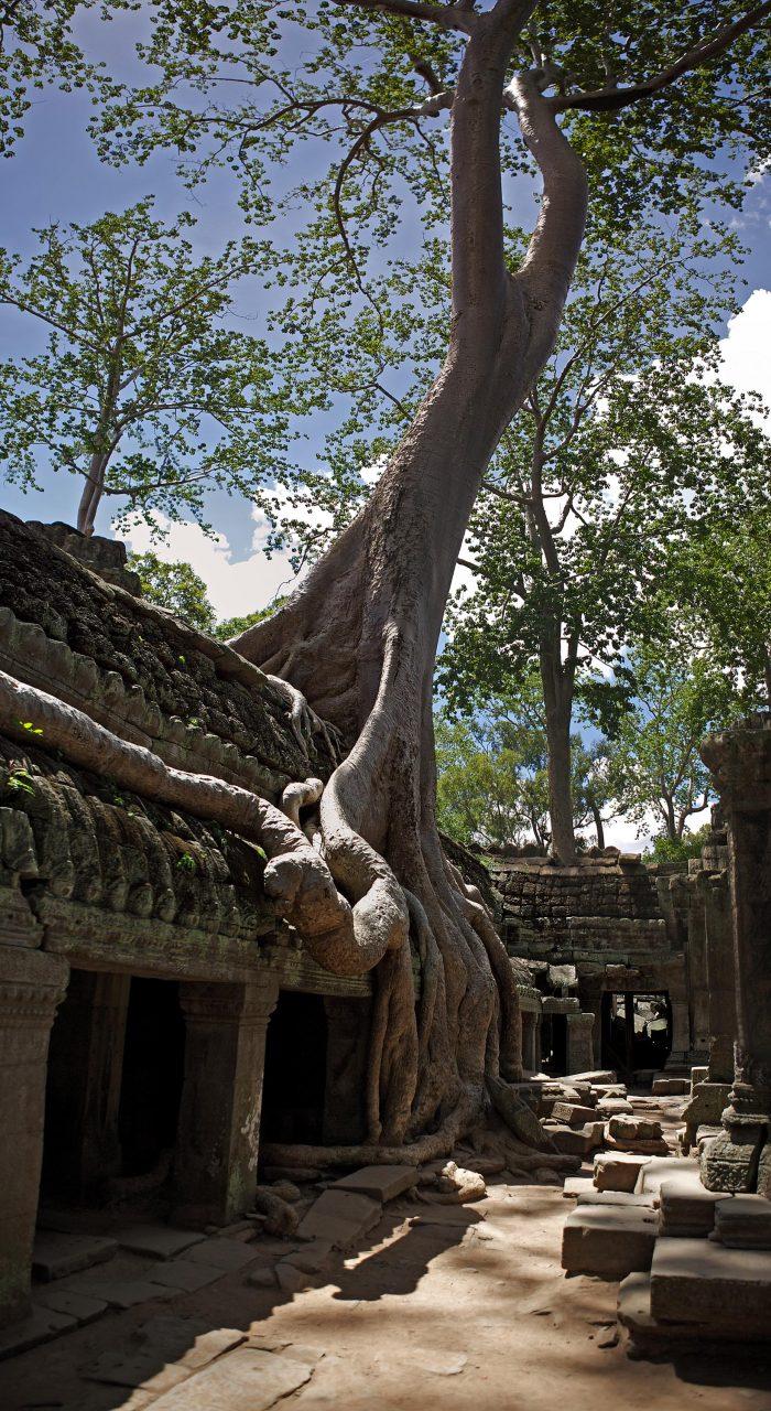 temple_tree1